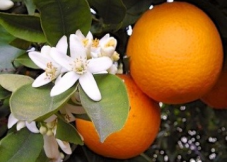 fleur oranger
